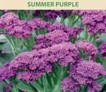 BROKOLIAI SUMMER PURPLE