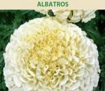 SERENČIAI DIDIEJI ALBATROS