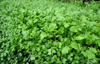 Žaliosios trąšos (sideratai)