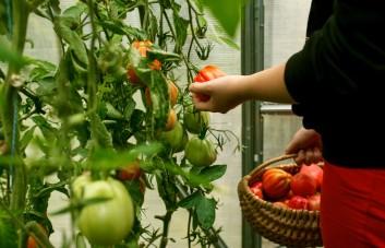 Šiltnamio daržovių trąšos