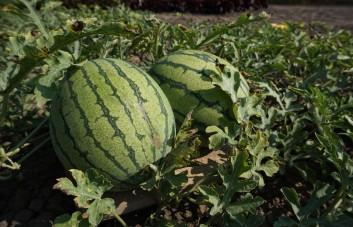 Arbūzai, melionai
