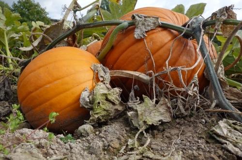 Derliaus šventė darže: kokie sodo ir daržo darbai dar liko?