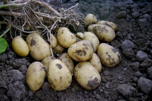 Bulves auginti ir valgyti reikia