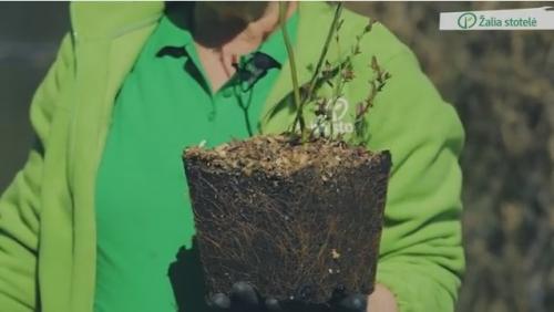 Šilauogių sodinimas ir priežiūra