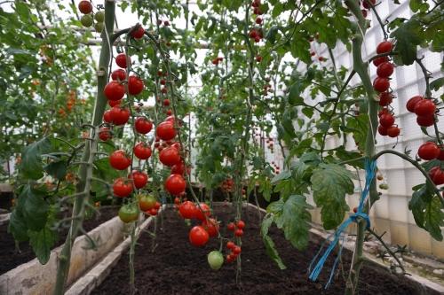 Pomidorų sėklų naujienos