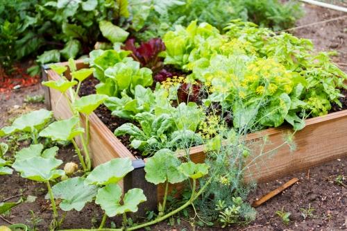 Daržovės mūsų darže: ką verta auginti?